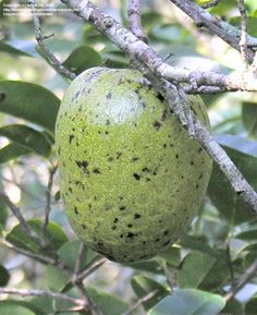Pond Apple, Alligator Apple (Annona glabra)