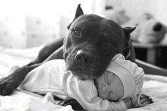 did you know the chances of a pitbull killing any human are less than a parent killing there own child