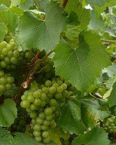 white grape, Melon de Bourgogne grapes
