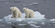 Polar Bears on Small Ice Floe -- Tell Congress: Support the Paris Climate Agreement -- TakePart -- 1-30-16 -- Photo by Olaf Kruger, Getty Images