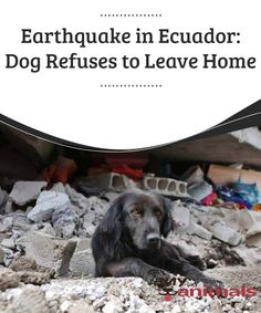 Earthquake in Ecuador: a dog refuses to leave his destroyed house  And while the dogs' loyalty for their owners is well-known, in extreme situations it's usually even more evident. That's why it's no surprise to read news that show a dog that refused to leave his home, destroyed by the earthquake.