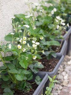 Junge Erdbeeren im Blumenkasten blühen