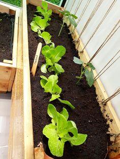 Salad in wooden planter