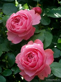 'Leonardo Da Vinci' – Meilland (1994). Trosroos. Continu rijkbloeiend. Zeer dubbele, gekwartierde, bengaalsroze bloemen (8-12cm). Regenbestendige en kleurvaste roos. Lichte theegeur. Stevige, dichtgroeiend, robuuste struik met donkergroen, leerachtig blad. Goed ziekteresistent. 110cm x 60cm.