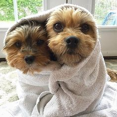 Yorkshire Terrier is one of the most popular dog breeds in the world, and despite their small size, Yorkies have Yorshire Terrier, Bull Terrier Dog, Baby Dogs, Dogs And Puppies, Yorkie Puppy, Pomeranian Dogs, Teacup Pomeranian, Dog Wrap, Most Popular Dog Breeds