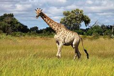 The Giraffe-African Savanna Relationship: It's Complicated Ant Species, Nature Research, Scale Insects, Western Landscape, African Elephant, Large Animals, East Africa, Zoology