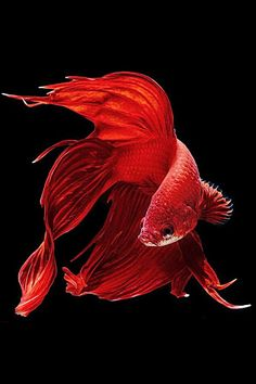 Red Japanese Fighting Fish