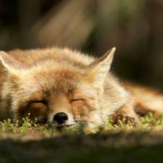 Red Fox by Laurens De Haas   Zoom.nl