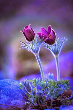 Blue & Purple Plum - Flower Macro - Pulsatilla grandis - Greater Pasque Flower