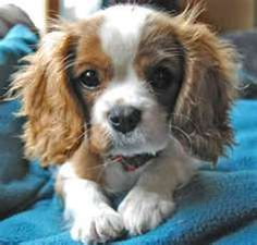 Beautiful spaniel baby face