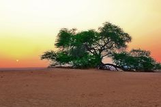 The Tree Of Life, Bahrain. Oh to such that I could be a lone tree thriving in desert as this does!