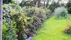 Pruning blackberry bushes will not only help keep blackberries healthy, but can also help promote a larger crop. Blackberry pruning is easy to do once you know the steps. Let's take…