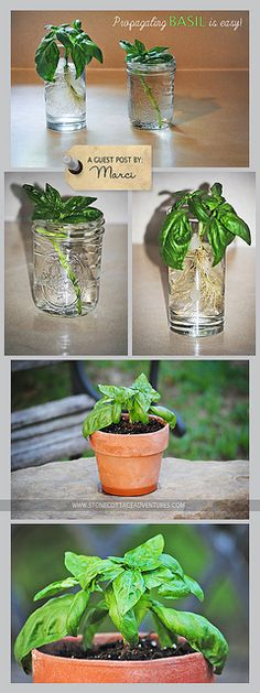 Propagating Basil is Easy