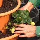 make your own strawberry planter using 3 plastic pots stacked in a tower. no mulch: fruit hangs over and stays clean. choose your sunny position before you half fill the largest pot with potting mix. Take the next sized pot and place it on top... Keep plants well watered, Protect from slugs
