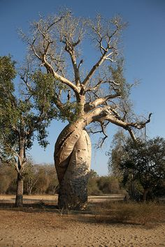 A twisted Boab tree Le Baobab, Baobab Tree, Madagascar, Weird Trees, Weird Plants, Giant Tree, Unique Trees, Old Trees, Tree Roots