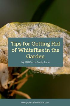 Getting rid of whiteflies in the garden can be a challenge. Follow these tips and you can eradicate them easily - and quickly. #jrpiercefamilyfarm #organicgardening #whiteflies #whiteflypestcontrol #gardenpestcontrol #gardeningtips Organic Farming, Organic Gardening, Gardening Tips, Wooden Cottage, Farm Projects, Family Resorts, Growth Hormone, Pest Control, Container Gardening