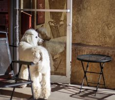 Waiting at the Cafe Standard Poodle Print by lostkatphotography