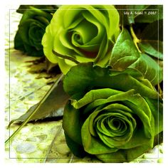 Some beautiful roses. Green Like Hope Green Flower Photos, Green Flowers, Green Colors, Ronsard Rose, Coming Up Roses, Rose Pictures, Love Rose, World Of Color, Go Green