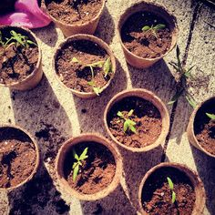 """Transplanting tomato seedlings into their own homes after they produce """"true leaves""""  Letters to Wanda"""