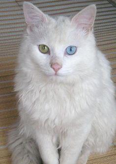 オッドアイの白猫(オス、長毛)を保護しています