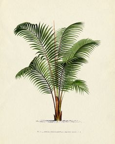 Antique Botanical French Palm Tree Series Plate 1 1878 8 x 10 Art Print Wall Decor. $10.00, via Etsy.
