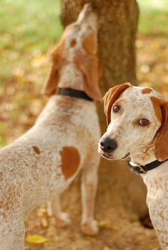 red tick coonhounds  It's all about dogs.