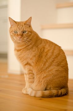 Best of Tabby Cats pictures. Cute Cats And Dogs, Cool Cats, Cats And Kittens, Ragdoll Kittens, Funny Kittens, Bengal Cats, Adorable Kittens, Kitty Cats, I Miss My Cat