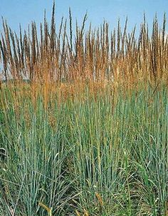 Sorghastrum nutans 'Indian Steel' (Blue indian grass)