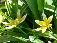 Sonne... immer der Sonne entgegen  #Garten #Gartenliebe #tulpen #tulpe #tulpenliebe #tulips #tulip #blackandwhitephotography #tulpenzeit #tulipa #bloom #blooms #Gartenglück #Gartenzeit #Gartenträume #Gärten #Blume #Blumen #Blumenliebe #Blumenfotografie #blumenzauber #nature  #naturelover  #naturephotography  #flowers #flower #naturesbeauty  #naturelove  #PictureoftheDay  #photooftheday