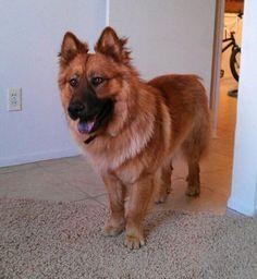 6) A German Chow (Chow Chow & German Shepherd)
