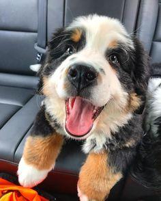 I love car rides and don't cry anymore!  #bernesepuppy #bernese #bernesemountaindog #bernesedaily #puppy #bmd #bernese_feature #berner #berneridge