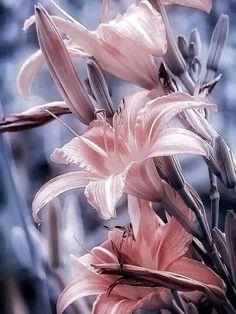 splash of delicate pink on the flowers, lovely Exotic Flowers, Amazing Flowers, My Flower, Beautiful Flowers, Flowers Nature, Flowers Pics, Lilly Flower, Cactus Flower, Purple Flowers