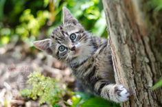 Cute Kittens, Grey Tabby Kittens, Cats And Kittens, Super Cute Cats, Cat Plants, Son Chat, Cat Drinking, Bad Cats, Kitty Cats