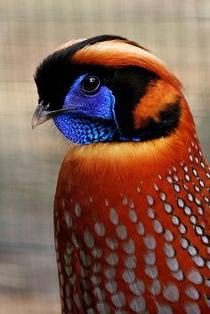 The Temminck's Tragopan is a medium-sized pheasant in the genus Tragopan.