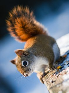 Red squirrel. #Squirrel #Wildlife