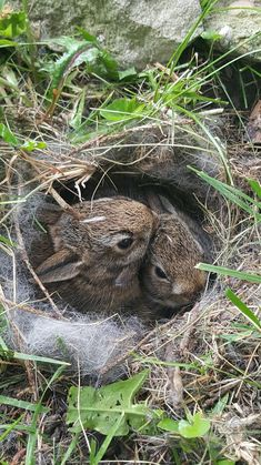Vote for this photo in the 2017 Wildlife Photo Contest! - Katrin Graf - Vote for this photo in the 2017 Wildlife Photo Contest! A nest of baby bunnies in our backyard. Cute Baby Bunnies, Cute Baby Animals, Animals And Pets, Wild Life, Beautiful Creatures, Animals Beautiful, Tier Fotos, Mundo Animal, All Gods Creatures