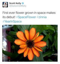 Es muy probable que os hayáis encontrado con la noticia de que la Estación Espacial Internacional ha sido testigo de un hecho insólito durante estos días: La primera flor en el espacio. Lo anunciaba el astronauta Scott Kelly a través de su twitter y la información se difundió rápidamente en numerosos