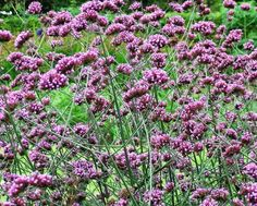 verbena-bonariensis. Planted 2016 - between power poll and rhododendron - 4 plants Edgewater