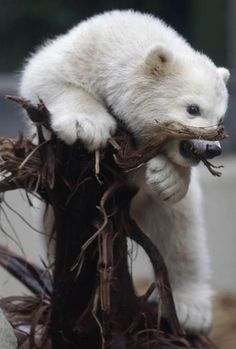 When I see Polar bear cubs, I always find it hard to  believe that an adult this mammal is one of the most dangerous  animals on planet earth! Such beautiful creatures ...