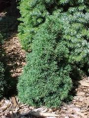 """Picea glauca JEAN'S DILLY - smaller version of readily available """"conica"""" variety."""