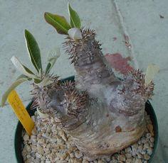Pachypodium densiflorum Wild Collected