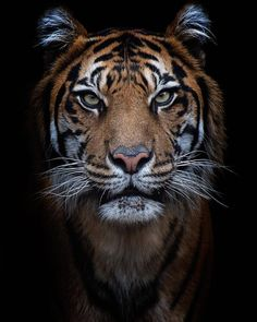 Image about tiger in Animales🐶❤ by Mayra on We Heart It Tiger Art, Pet Tiger, Tiger Eyes, Tier Wallpaper, Animal Wallpaper, Tiger Fotografie, Jungle Animals, Cute Animals, Regard Animal