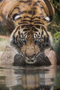 Tiger Reflections | www.sdzsafaripark.org/tigertrail | By: San Diego Zoo Global | Flickr - Photo Sharing!