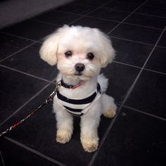 Maltese...look at that precious expression!