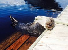 Seal pup enjoying the sun on the pier Nature Animals, Animals And Pets, Cute Animals, Seal Pup, Manatee, Enjoying The Sun, Take A Nap, Magical Creatures, Weird And Wonderful