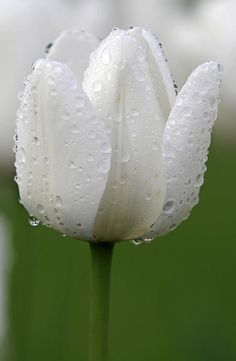 White Tulip Photograph by Juergen Roth - White Tulip Fine Art Prints and Posters for Sale