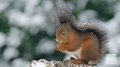 Squirrel (Sciurus vulgaris) sitting on a tree stump in the snow. © Erhard Nerger/imagebr