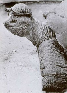 tortoise with a tortoise hat