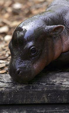 Pygmy Hippopotamus - Cutest Baby Animals - Zimbio