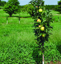 Tips for Growing Apple Trees Tips for Growing Apple Trees - FineGardening Growing Apple Trees, Apple Plant, Planting Apple Trees, Apple Tree Care, Fruit Plants, Little Gardens, Pruning Apple Trees, Fruit Bushes, Pruning Fruit Trees